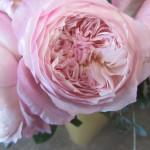 rosa-austin-constance