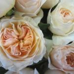 rosa-austin-juliet