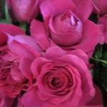 rosa-austin-kate