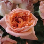 rosa-rene-goscinny