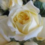 rosa-toulouse-lautrec